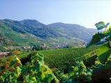 Der Blick über die Weinberge der Winzergenossenschaft Waldulm