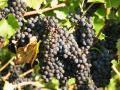 Trauben im Herbst