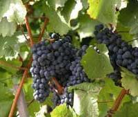 Kraichgau Rotwein