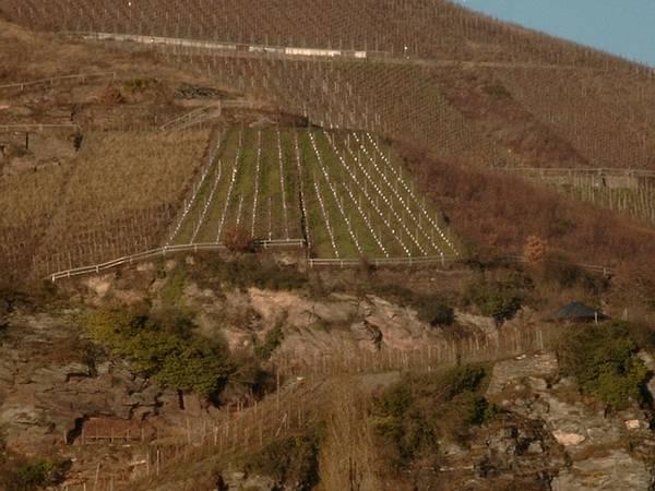 Ausgewählter Weinberg in Spitzenlage an der Mosel für Ihre Weinpatenschaft.